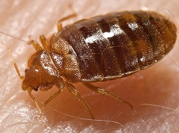 Bed Bugs Close Up