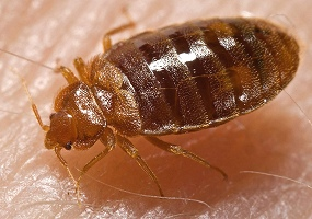 Bed Bugs Elimination